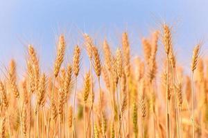 grão amarelo pronto para a colheita, crescendo em um campo de trigo. foto