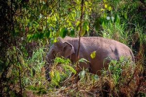 elefante asiático é um grande mamífero. foto