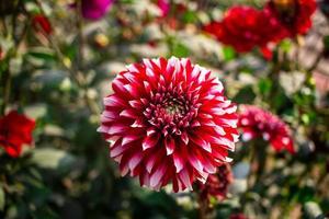imagem de flor dália foto