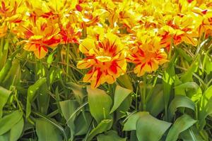 Narcisos de tulipas coloridas em Keukenhof Park lisse Holanda. foto