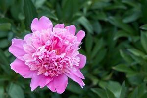 peônia flor rosa no contexto da grama verde. foto