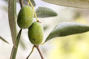detalhe macro de azeitonas verdes foto
