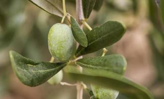 azeitonas verdes da ligúria foto