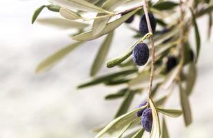 azeitonas taggiache usadas para produzir azeite foto
