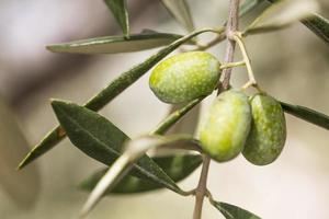 azeitonas verdes com ramos foto