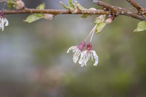 close-up tiro flores da primavera em um galho de árvore foto