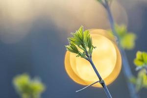 close-up foto de folhas novas durante a primavera contra a luz do sol