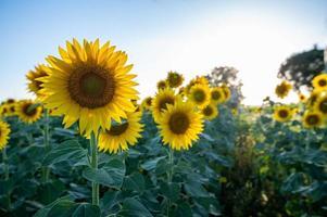 Prado de girassol ao pôr do sol de verão foto