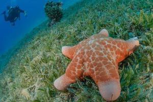 estrela do mar no fundo do mar no mar vermelho, eilat israel foto