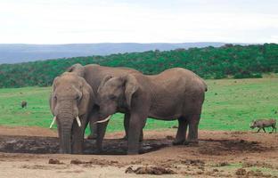 elefantes africanos na áfrica do sul, elefantes da áfrica do sul foto
