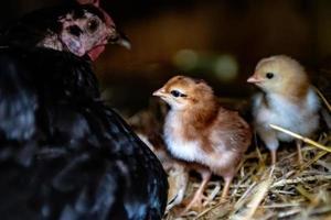 mãe galinha com pintinhos foto