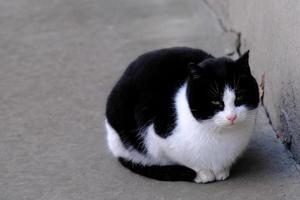 gato malhado de rua preto e branco com olhos verdes close-up de retrato foto