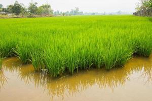 campo de arroz em casca durante o dia foto