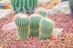 cacto - parodia claviceps cactaceae foto