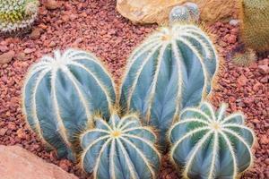 cacto - parodia magnifica cactaceae foto