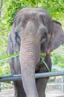 elefante asiático comendo grama verde em um parque público, na Tailândia, vertical foto