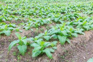 fazenda de tabaco pela manhã, tailândia foto