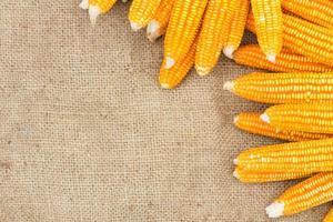 espigas de milho maduro no gunnysack foto