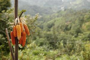 milho orgânico, cultivo e agricultura, terra e agricultura foto