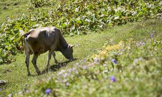 vaca, comendo vaca, planalto e agricultura foto