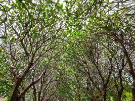 árvores de plumeria com folhas e sem flores usadas como plano de fundo foto