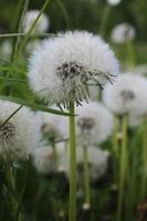 dente-de-leão branco e fofo na grama verde foto