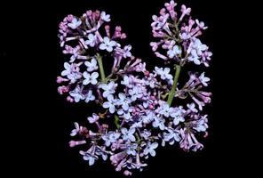 flor flor macro fundo siringa vulgaris família oleaceae impressão foto