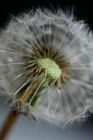 flor flor close up taraxacum officinale blow ball asteraceae foto