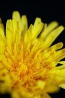 flor selvagem close up taraxacum officinale dandelion asteraceae foto