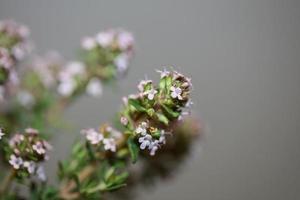 flor flor close up thymus vulgaris família lamiaceae background foto