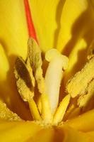 tulipa close up background family liliaceae botânico estampas modernas foto