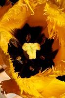 flor tulipa close up fundo família liliaceae botânico moderno foto