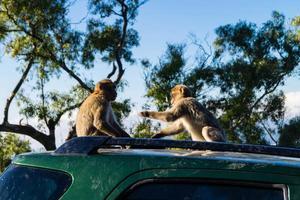 macacos magot barbary sylvanus macaca ape em gibraltar foto