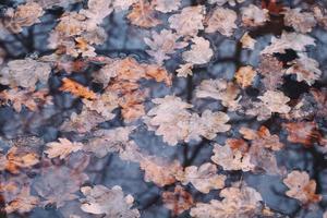 folhas de carvalho de outono na água com fundo de reflexão de floresta. foto