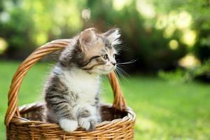 um gatinho em uma cesta na grama, no verão foto