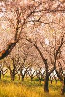 foto vertical de pomar de flores de amendoeiras