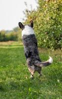 cachorro corgi pulando ao ar livre em um pomar de maçã foto