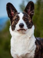 cão corgi marrom mostra postura e retrato padrão b treinamento do animal de estimação foto