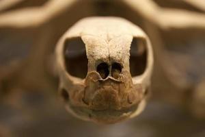 fóssil de esqueleto de tartaruga animal antigo pré-histórico foto