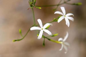flor conhecida como jasmim madagascar foto