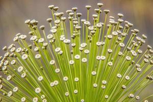 flor branca dita sempre viva ao ar livre no brasil foto
