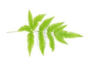 folha de samambaia isolada em um fundo branco foto