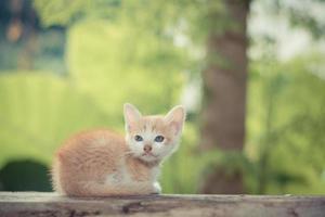 gatinho gatinho de pelo curto sentado na mesa de madeira foto