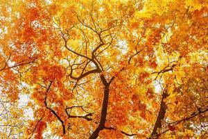 galhos de árvores amarelas de outono, vista inferior foto