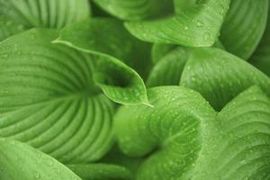 folhas verdes com gotas de água da chuva foto