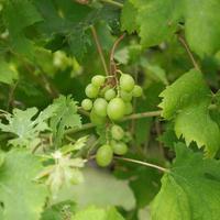 fruta de uva branca foto