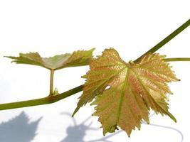 folha de vitis vinifera planta videira isolada foto