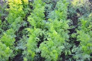 aneto. jovens arbustos de endro crescem no canteiro do jardim. foto