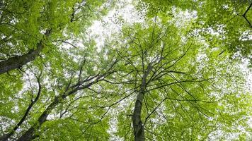 árvores altas de bordo alcançando o céu de baixo para cima foto
