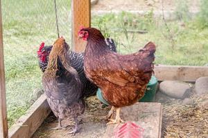 variedade de galinhas em um pequeno galinheiro foto